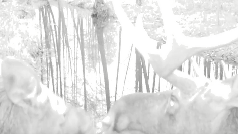 В День влюбленных Воронежский заповедник поделился видео милующихся лосей