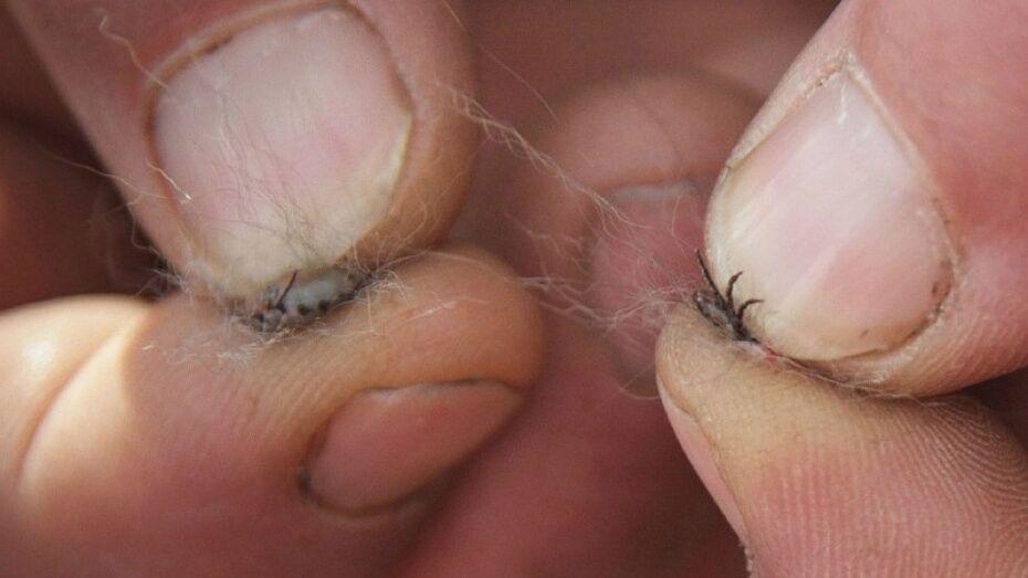 В Воронежской области клещи за полгода заразили болезнью Лайма 35 человек