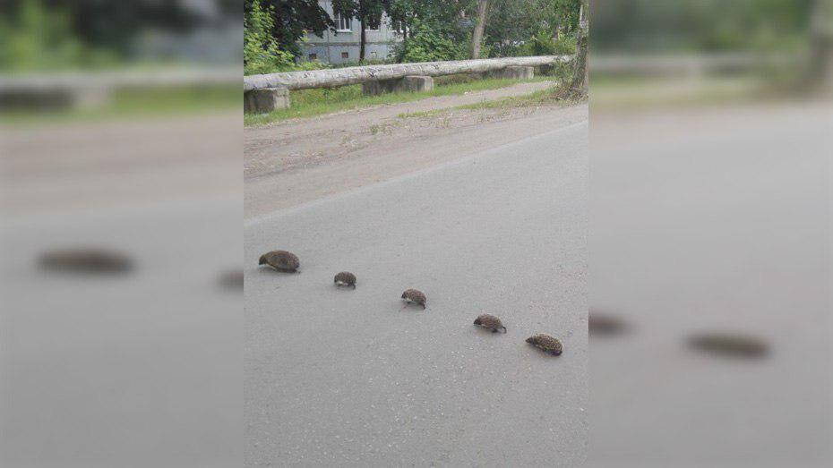 В Борисоглебске из-за семейства ежей остановилось дорожное движение