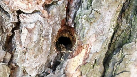 Сосны с просверленными отверстиями нашли рядом с воронежским Северным лесом