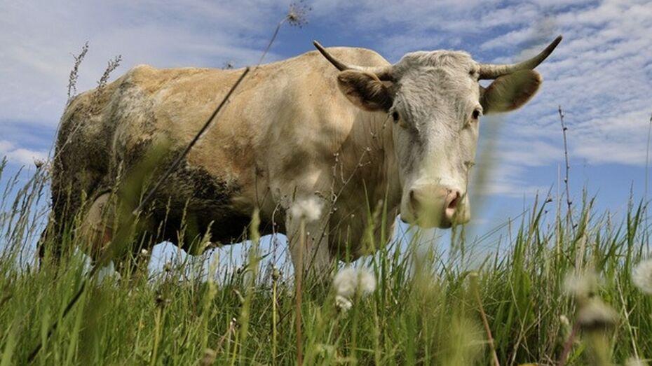 Суточное производство молока в Кантемировском районе за год суточное увеличилось в 2,5 раза