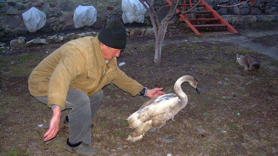 Спасенный богучарцами лебедь встал на ноги