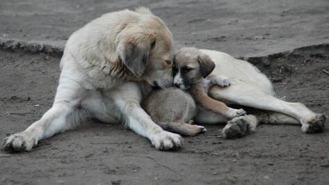 Проблему бездомных животных в Воронеже решат за счет областного бюджета