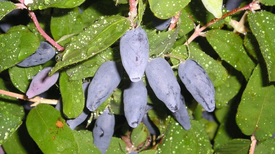 Плоды труда. Почему саженцы воронежского плодопитомника растут в жару и в мороз