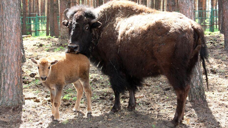 В Воронеже у бизонов Малдера и Мапрельки родился Месси