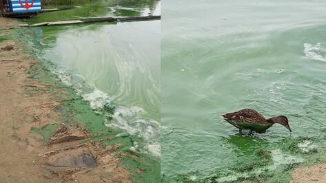 Воронежцев шокировали окрашенные в зеленый цвет утки на водохранилище