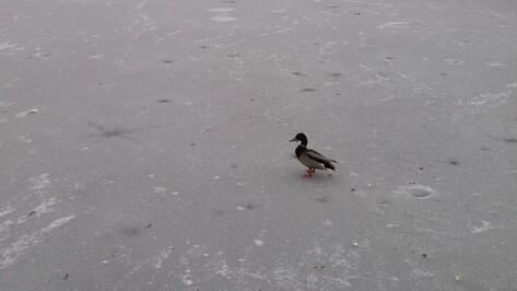 В Воронеже зоозащитники приютят замеченную на озере утку с блесной на клюве
