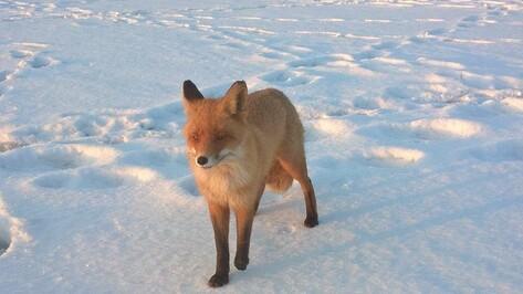 Рыбак снял на видео лису на Воронежском водохранилище