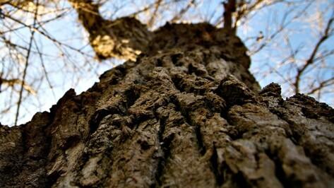 Прокуратура обязала воронежскую УК спилить аварийные деревья