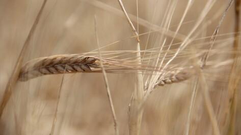 Воронежские аграрии в 2015 году соберут более 4 млн тонн зерна