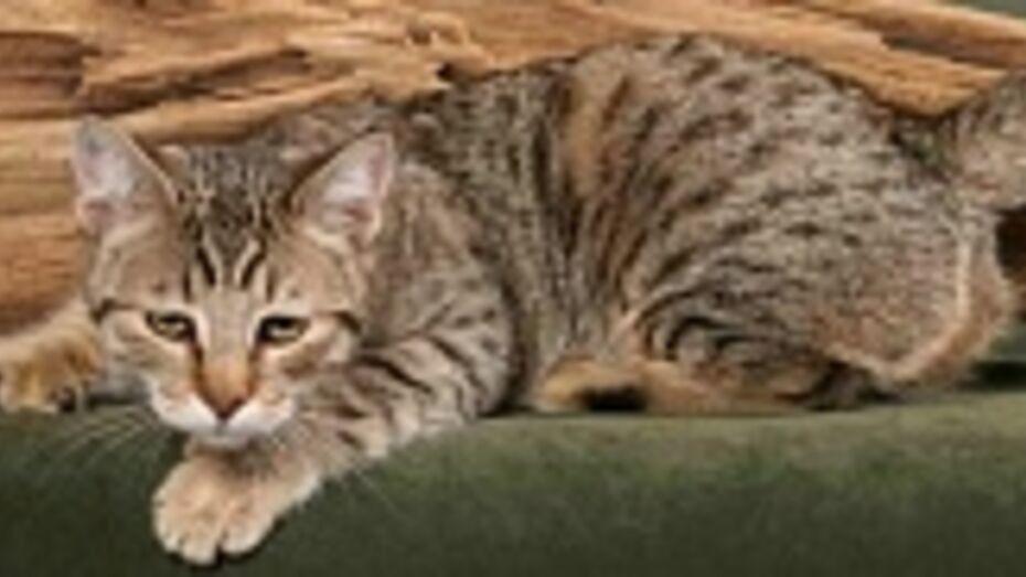 Кот самой редкой в Воронеже породы  - пиксибоб - стоит 70 тысяч рублей