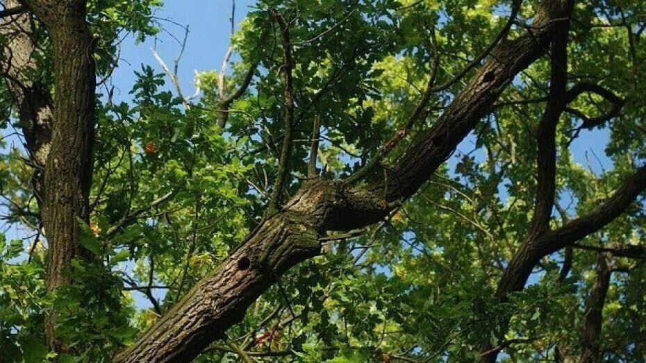 В Воронеже на Ленинском проспекте вырубят 47 деревьев и кустарников