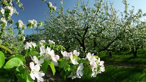 Власти Воронежа займутся развитием территории бывших яблоневых садов