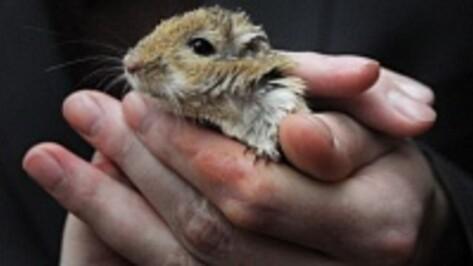 В Воронежской области нашли мышей с антигенами туляремии