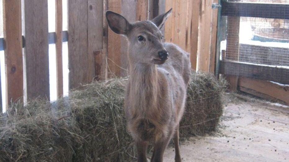 В воронежском зоопитомнике поселили самку пятнистого оленя из Пензы