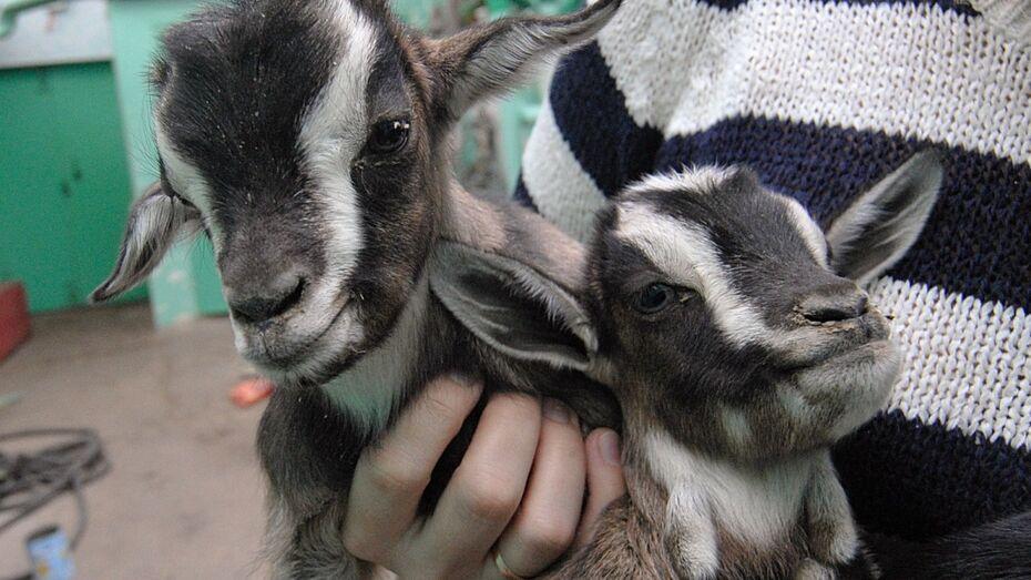 В Воронежской области гость отнял у хозяйки маленьких козлят