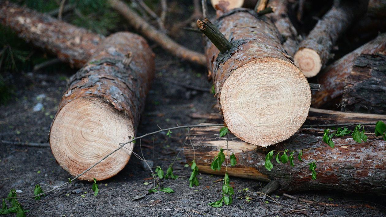 «Вырубили здоровые сосны». Участок у Северного леса оказался в центре скандала