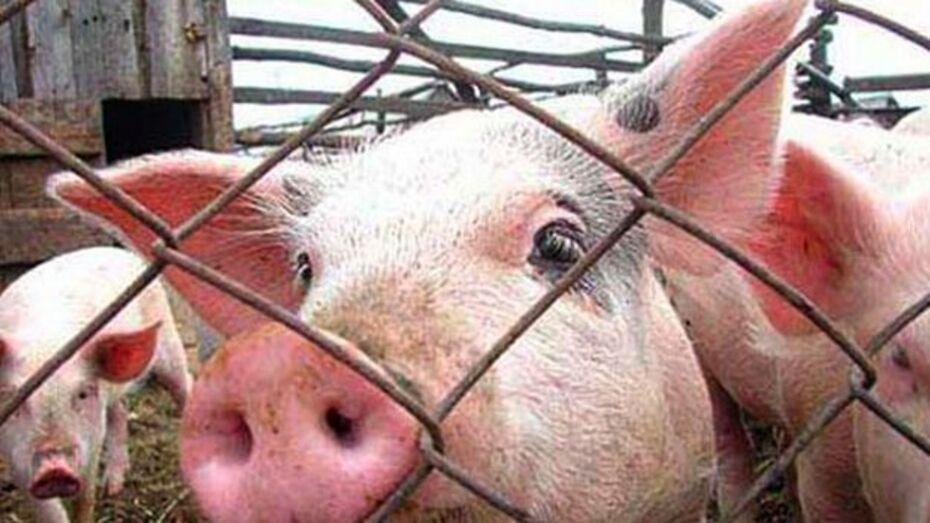 В Богучарском районе подтвердилась вспышка африканской чумы свиней