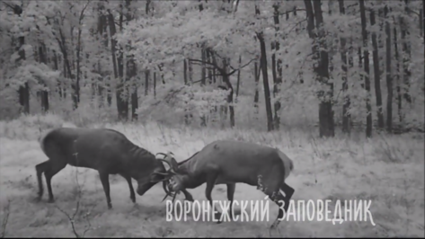 Воронежский заповедник опубликовал видео битвы благородных оленей