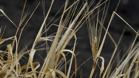 Алексей Гордеев: несмотря на засуху, Воронежская область соберет хороший урожай зерновых
