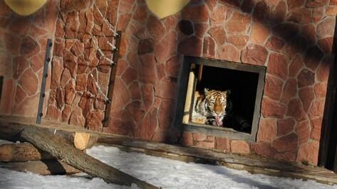 В Воронежский зоопарк переедет амурский тигр