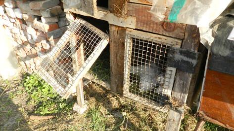 В Воронежской области неизвестное животное обескровило 77 кроликов