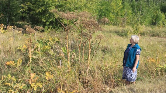 В панинском селе Софьинка массово разросся ядовитый сорняк