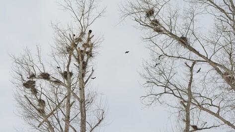 В Нижнедевицкий район грачи прилетели на месяц раньше