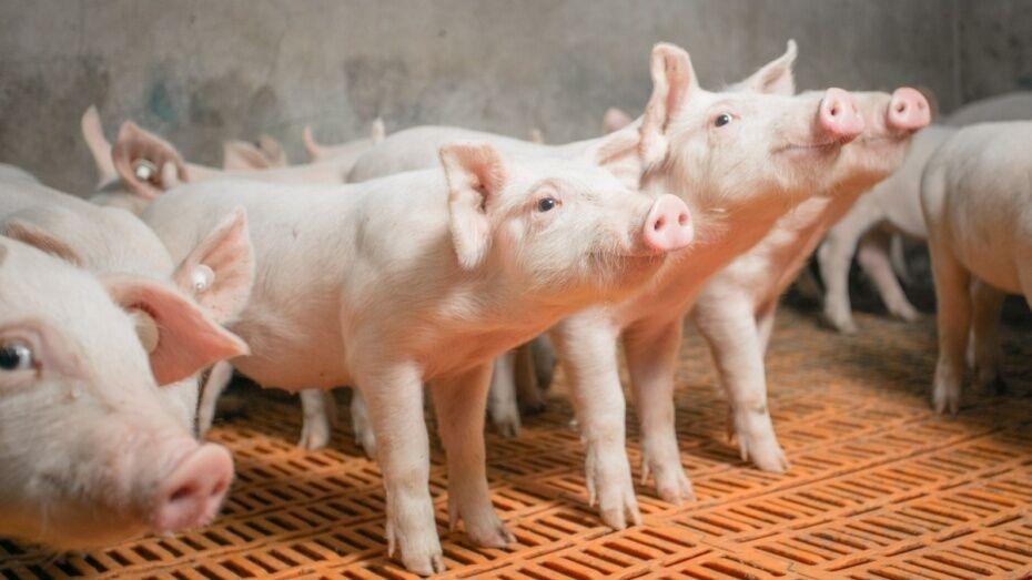 «Аргоэко» открыло карантинную площадку свинокомплекса в Воронежской области