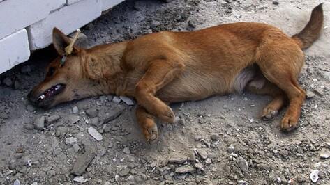 В Воронеже с начала года догхантеры убили более 60 собак