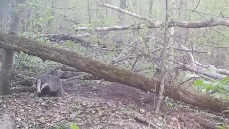 Упитанный барсук попал в фотоловушку Воронежского заповедника