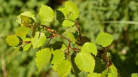 Семилукские лесники собрали более тонны семян лиственных деревьев