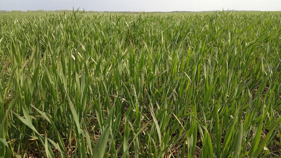 Сильные ветра нанесли ущерб посевам сахарной свеклы воронежского агрохолдинга «Продимекс»