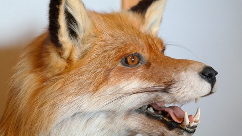 В Новохоперске провели вакцинацию диких зверей от бешенства