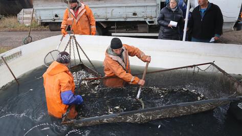 В Воронежское водохранилище выпустили более 1,4 млн толстолобиков