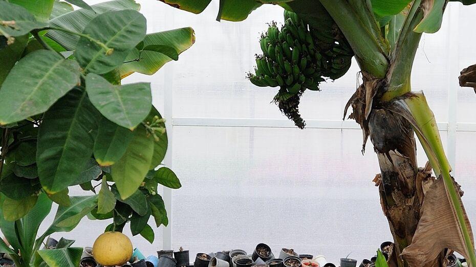 В Воронежской теплице круглый год растут бананы