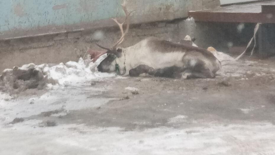 Воронежцы сфотографировали привязанного у входа в здание оленя