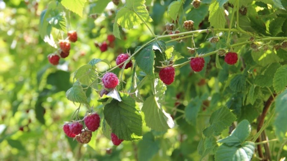 В Новоусманском районе приступили к уборке малины