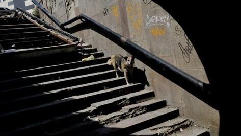 «Это фейк». Чиновники и отловщики – о слухах про собак с бирками в Воронеже