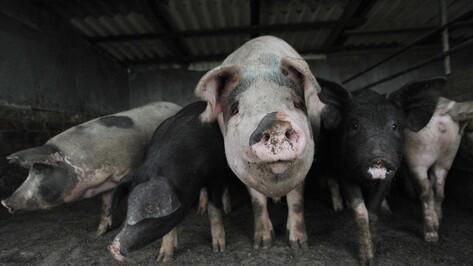 В Воронежской области карантин по АЧС на свинокомплексе объявили до 2017 года