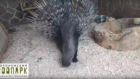 Воронежский зоопарк показал подаренного дикобраза на видео