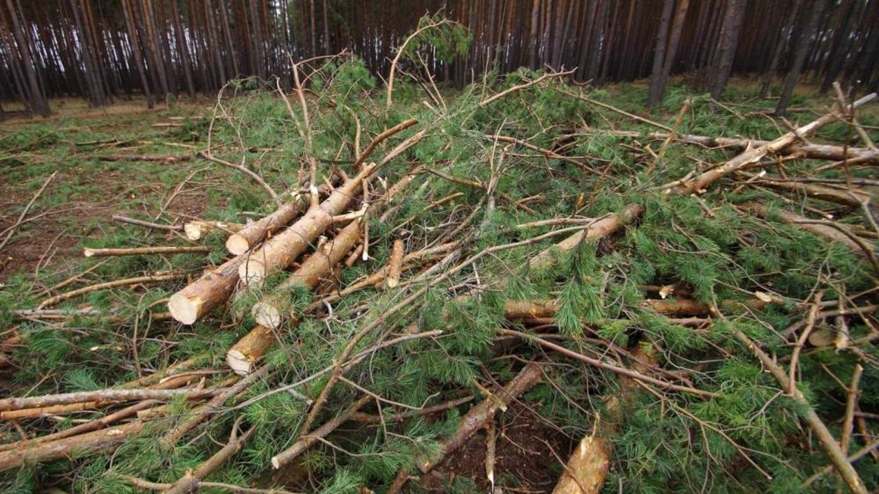 «По бумагам – кустарник». Почему вырубают деревья в лесу под Воронежем