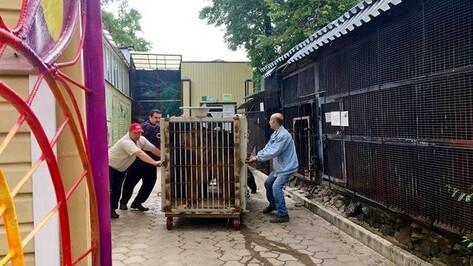 Медведь Умка переехал в новый вольер Воронежского зоопарка