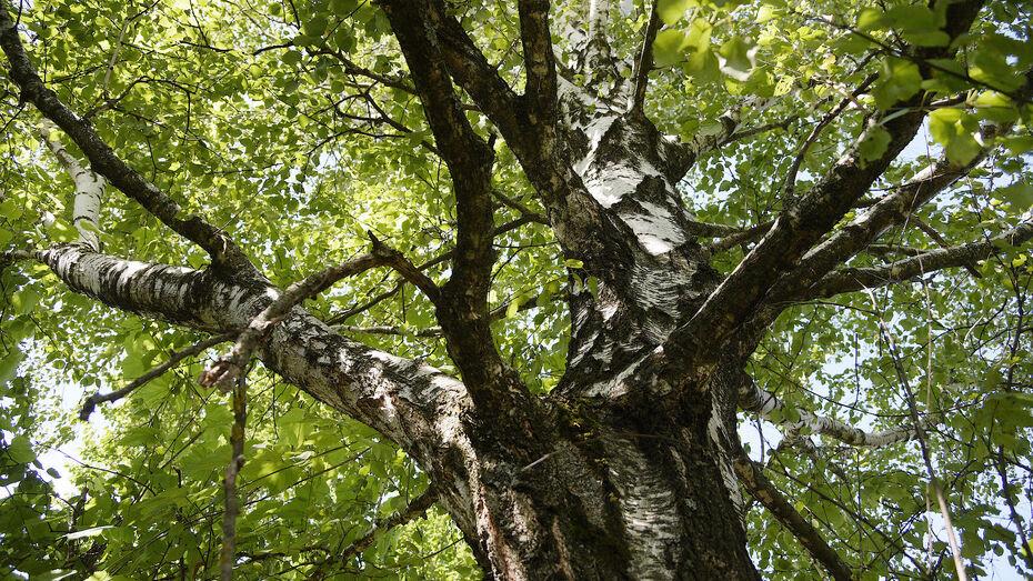 Воронежских подрядчиков обяжут следить за сохранностью деревьев