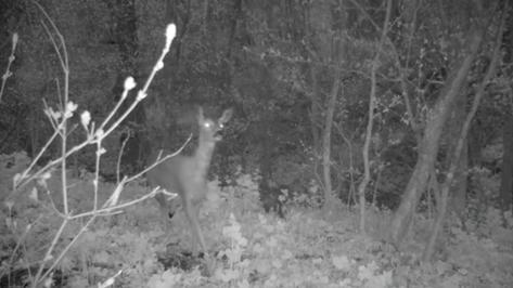 Любопытные лось и косуля обнюхали фотоловушку в заповеднике Воронежской области