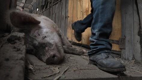 Воронежские животноводы получат компенсации за свиней, уничтоженных из-за африканской чумы