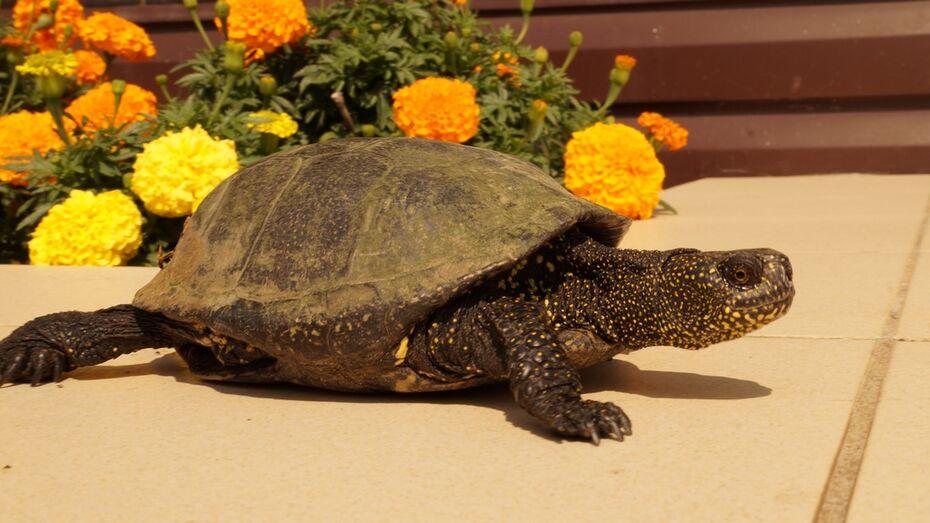 В богучарском парке женщина нашла болотную черепаху