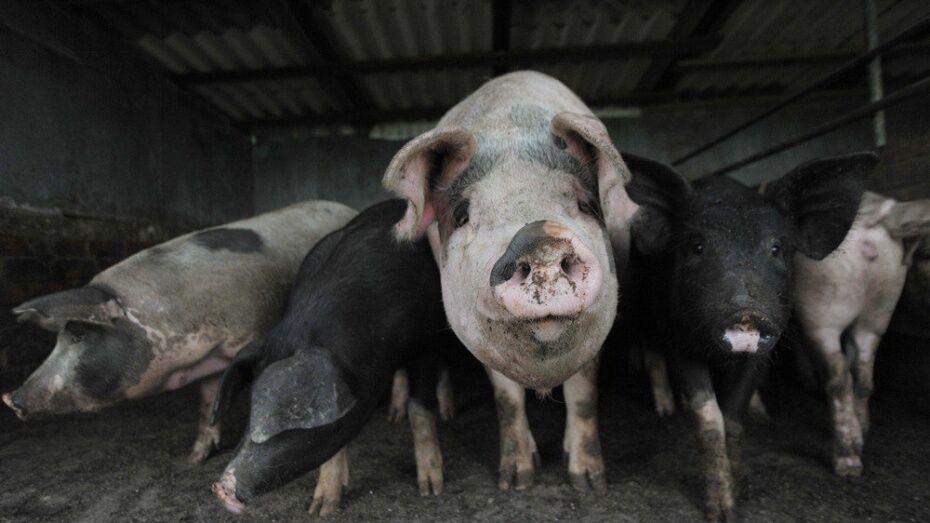 Под Воронежем уничтожили 20 свиней в первой угрожаемой зоне АЧС