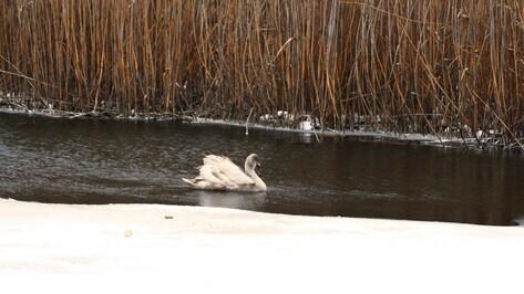 Неподалеку от Богучара в речной полынье зазимовал раненый лебедь
