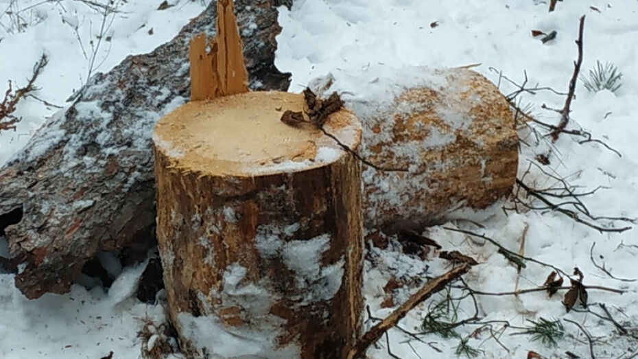 Управление лесного хозяйства объяснило вырубку деревьев в воронежском Тепличном